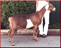 GCH My-Enchanted-Acres Beaus Flame 5*M